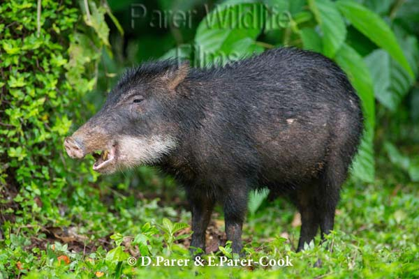 Image result for white-lipped peccary